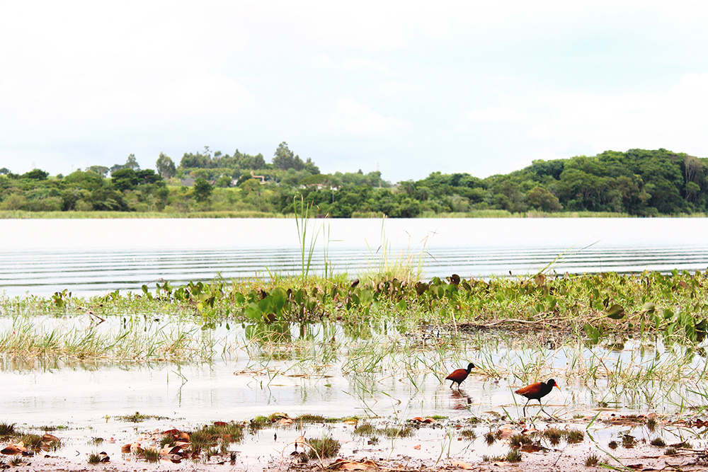pássaros na lagoa