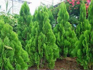 Hasil gambar untuk pohon cemara wallpaper