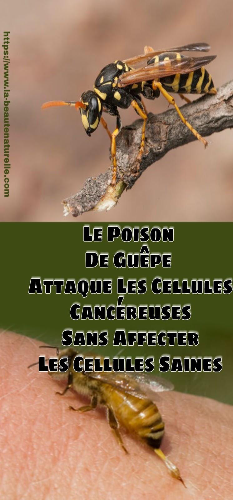 Le Poison De Guêpe Attaque Les Cellules Cancéreuses Sans Affecter Les Cellules Saines