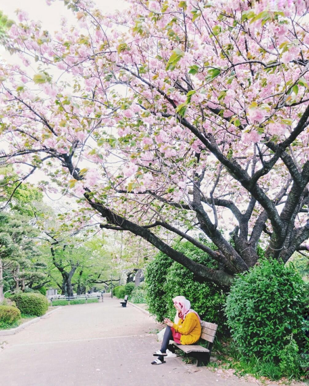 hunting sakura in tokyo
