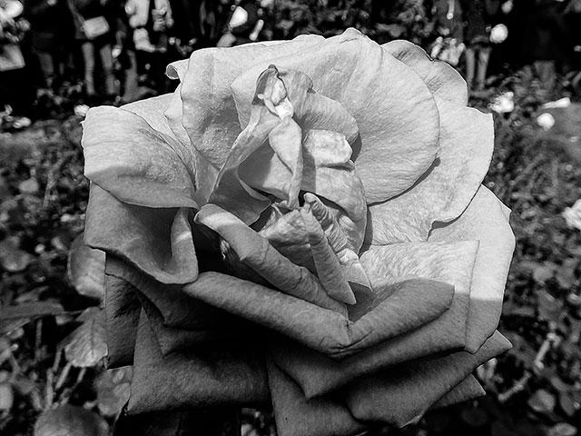 Capullo de Rosa en Blanco y Negro.