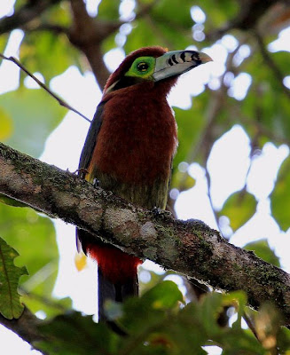 Spot billed Toucanet