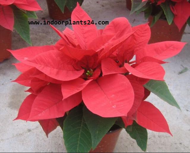 Euphorbia Pulcherrima plant care