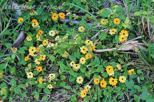 6- La planta trepadora Ojo de Poeta (Thunbergia alata) crece de forma silvestre en Cuba siendo apreciada en el mundo como una hermosa planta ornamental.
