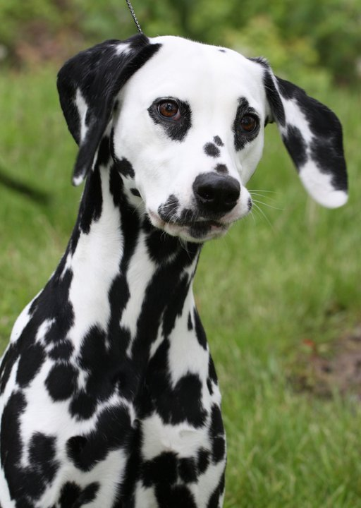 Dalmatian Dogs Pets Cute And Docile