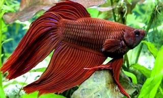 Beberapa penyakit ikan cupang dan cara mengobatinya