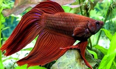 Penyakit Ikan Cupang Yang Harus Diwaspadai
