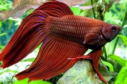 Inilah Penyakit Ikan Cupang Yang Harus Diwaspadai