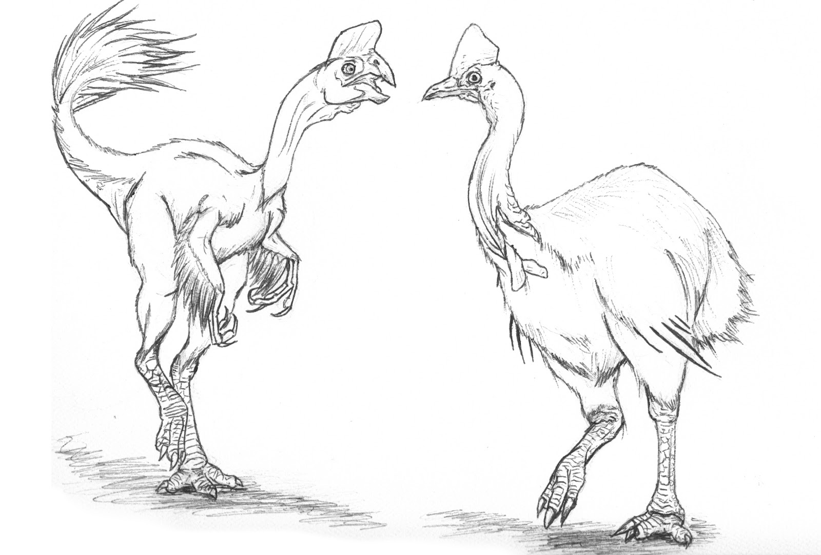 cassowary coloring pages - photo#25