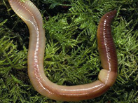 Lumbricus sp.