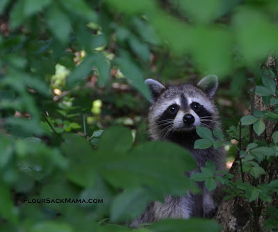 mama raccoon in forest