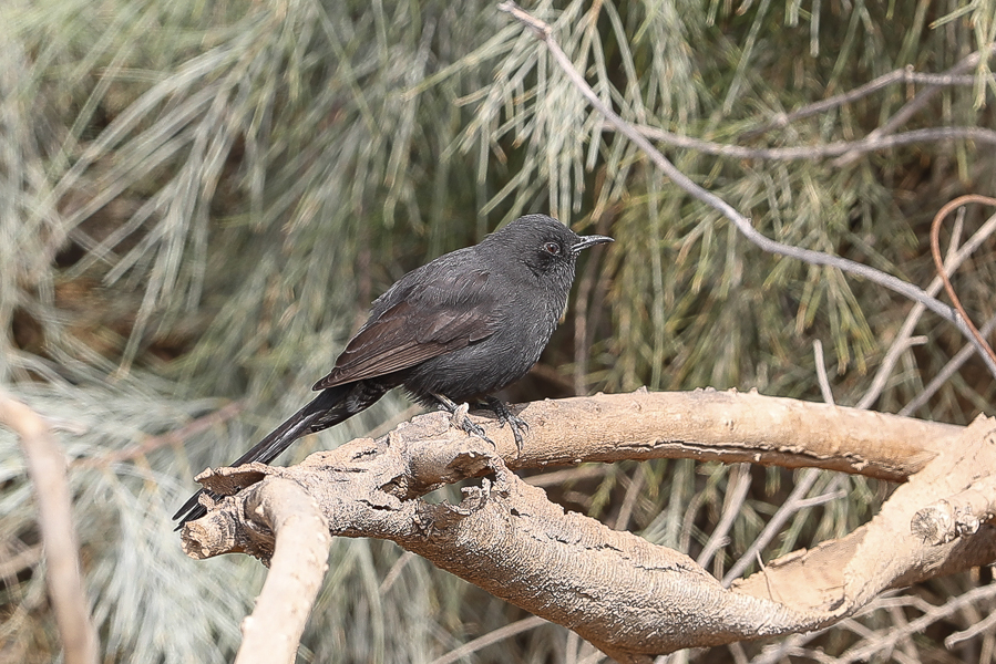 Another Black Scrub Robin – Sarrar, Eastern Province