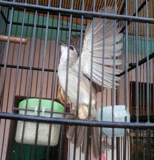 Download Suara Trucukan Garuda Masteran Paling Top