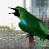 Cara Perawatan Burung Cucak Ijo Yang Mendadak Lumpuh