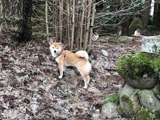 刀尾神社での赤い首輪がよく似合う柴犬ゆきさん2