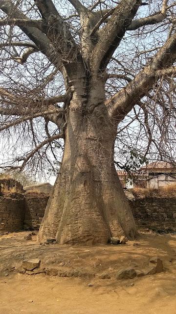 Baobab, Wai, Adansonia digitata