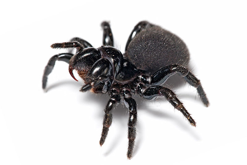 Arachnids: Mouse spider