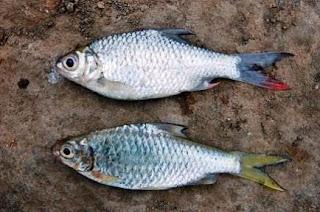 cara budidaya ikan nilem dan prospek