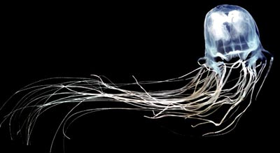ubur ubur kotak Serangan Hewan Paling Mematikan di Dunia