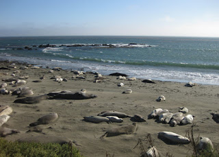 Elephant seals lounging on the beach, San Simeon, California