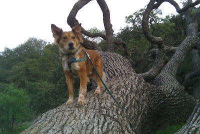 Dog in Coastal Live Oak tree