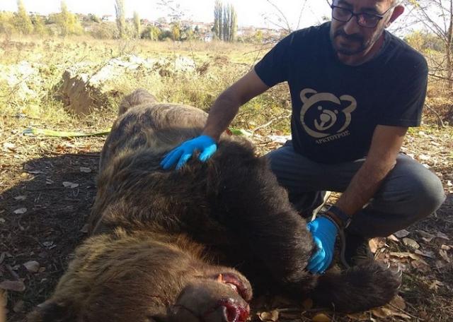 Μεγαλόσωμη αρκούδα έχασε τη ζωή της σε τροχαίο
