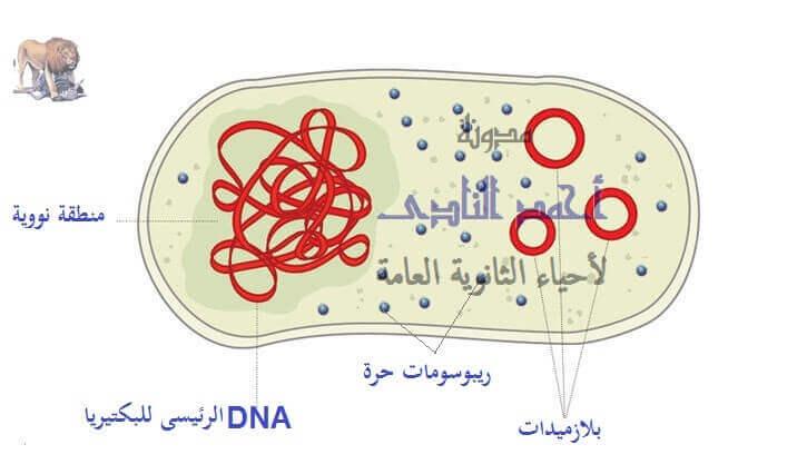حمض  RNA الريبوسومى  ( r-RNA ) – الريبوسومات فى أوليات النواة – حرة – الثالث الثانوى
