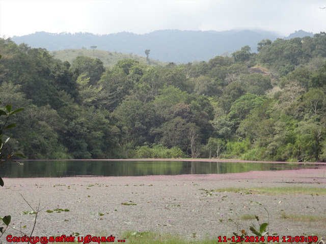 Pookode Lake - Pethia pookodensis