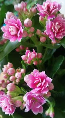 petit-kalanchoe-rose