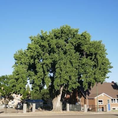 tree, Medicine Hat, Alberta, heritage, history, pioneer