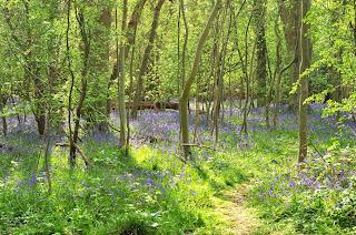 Papworth Wood bluebells