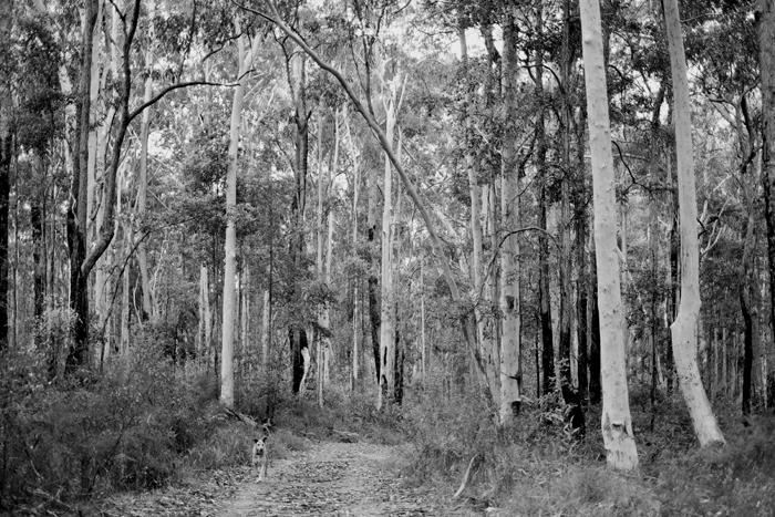 b&w australian forest