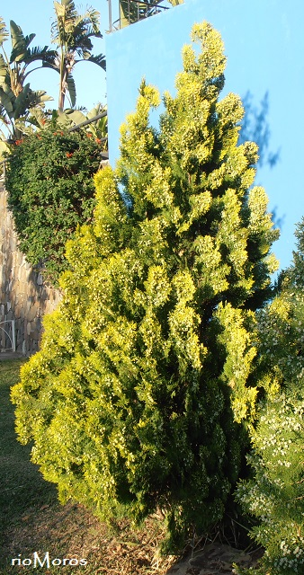 TUYA ORIENTAL Platycladus orientalis