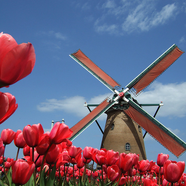 red tulips in front of a windmill Amsterdam
