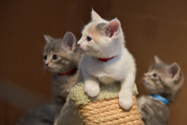 Three of the nursery kittens on a cat tower