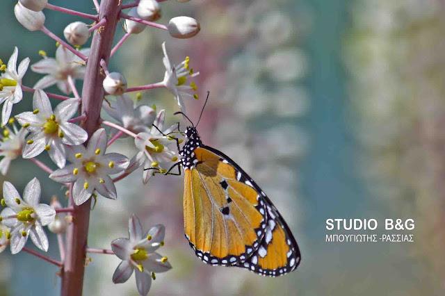 Danaus chrysippus: Μια σπάνια πεταλούδα με όνομα... αργείτικο!