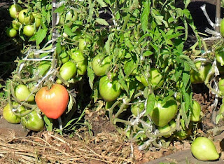 Возможно ли перекрестное опыление у помидоров