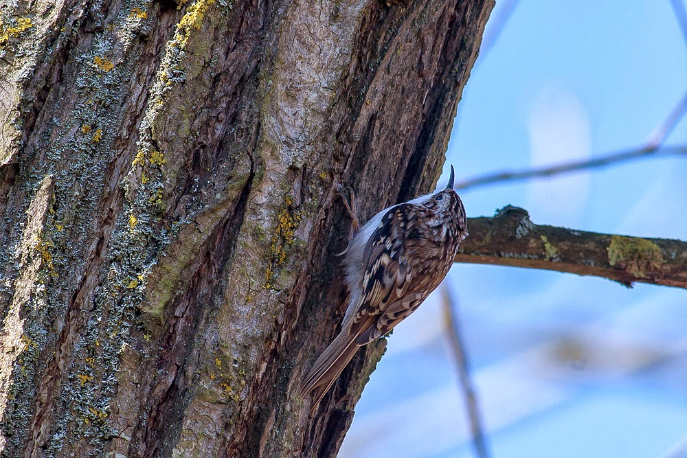 Tree Creeper - Loughton Valley Park, Milton Keynes