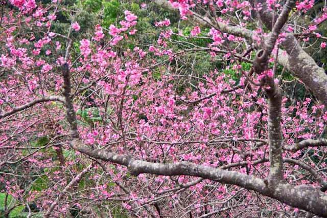 Cherry Blossoms, Okinawa, Sakura