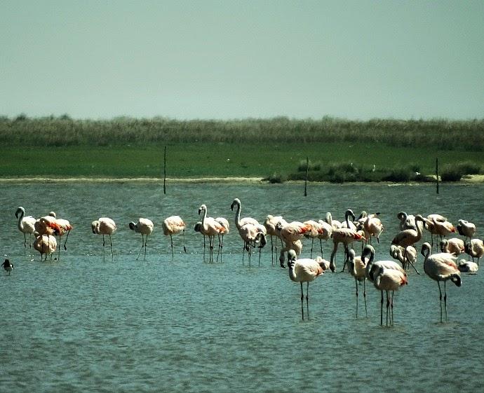 Flamingos chilenos na Barra da Lagoa do Peixe
