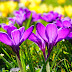 Purple crocus spring flowers