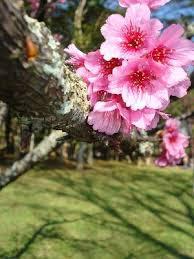 Sakura, flor da cerejeira japonesa, Cruzando Mundo