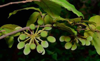 นมหนู, มะป่วน, ลำดวนดง ผลแบบผลกลุ่ม Mitrephora tomentosa