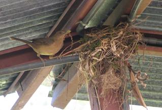 robin making nest