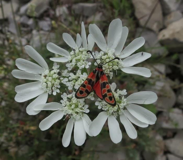 Flore de Thines