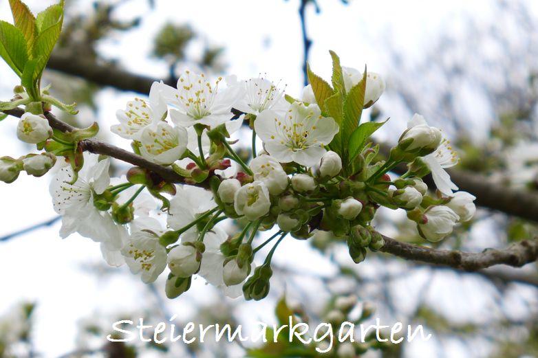 Kirschblüten-Steiermarkgarten