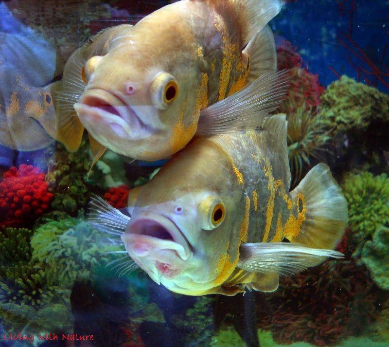 Gambar Oscar Jantan Dan Betina Dalam Cara Budidaya Ikan Oscar Agar Berhasil