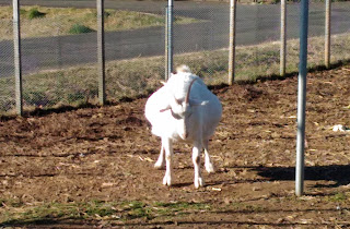 Very pregnant goat with a balloon belly