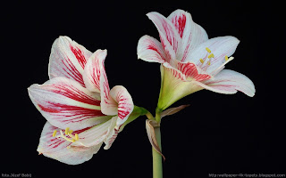 http://wallpaper-4k-tapety.blogspot.com/2015/02/wallpaper-tapeta-hippeastrum-zwartnica.html