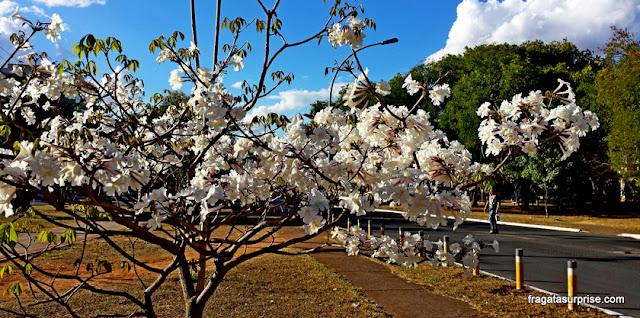 Florada do ipê branco, em Brasília